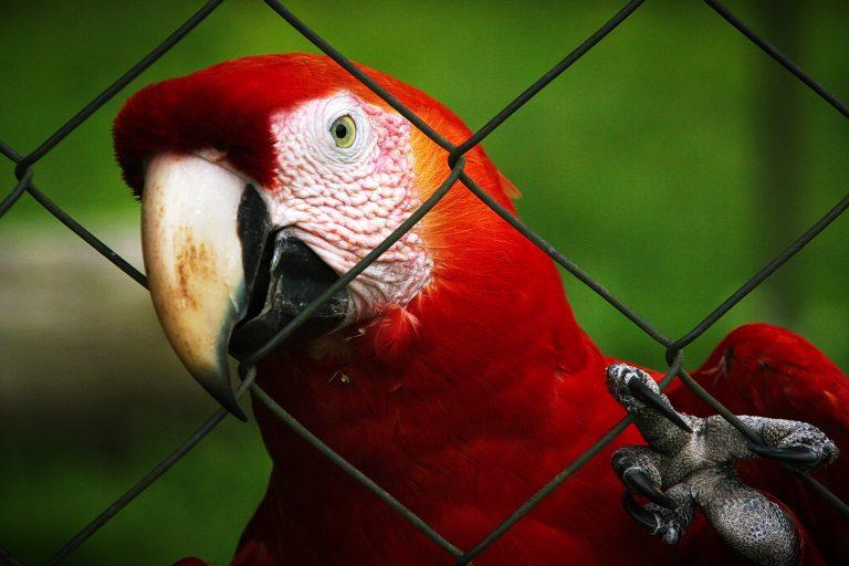 Imagem de arara vermelha em viveiro com grades metálicas