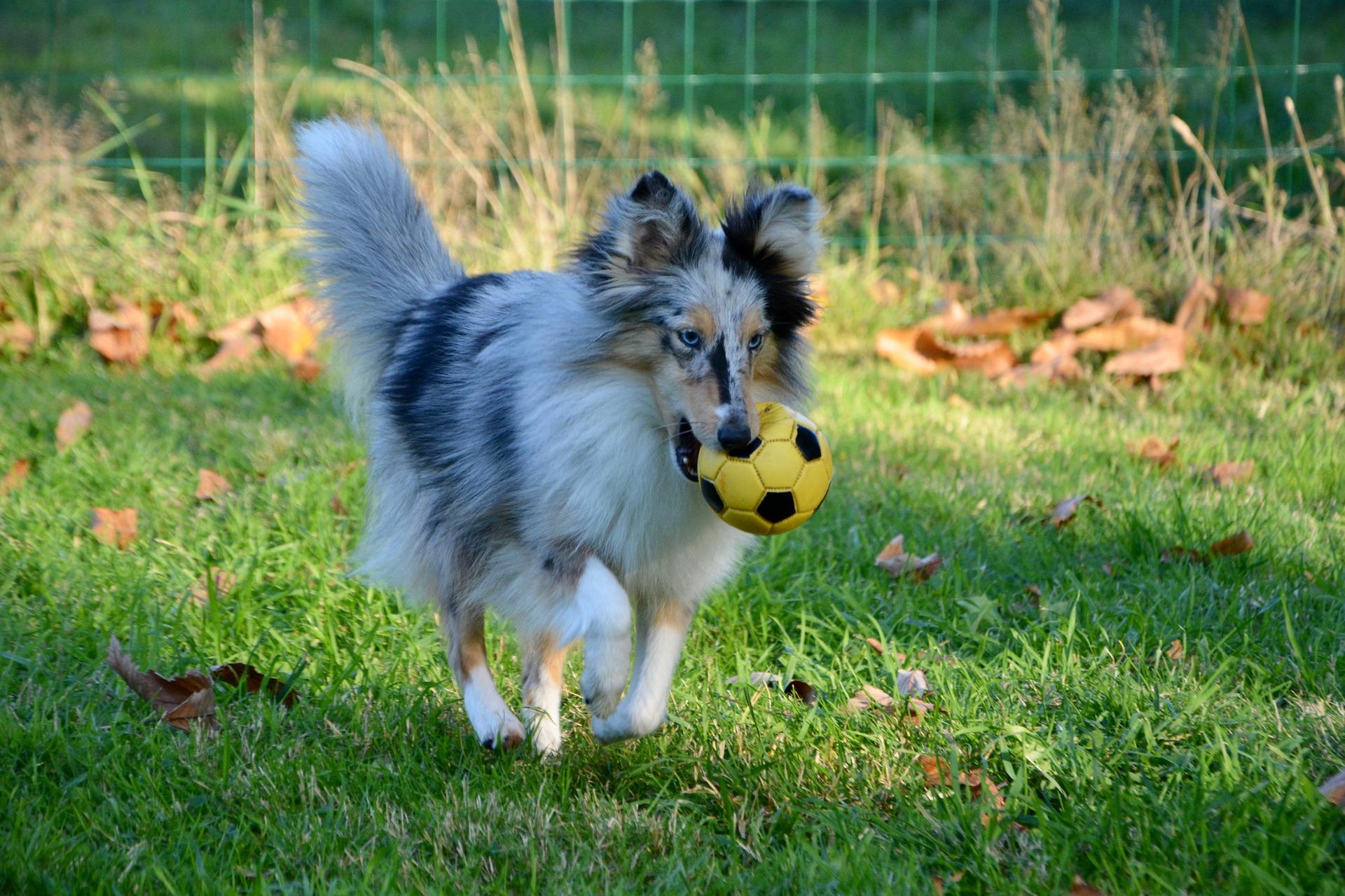 Imagem mostra uma cadela correndo sobre a grama, com uma mini bola de futebol em sua boca.