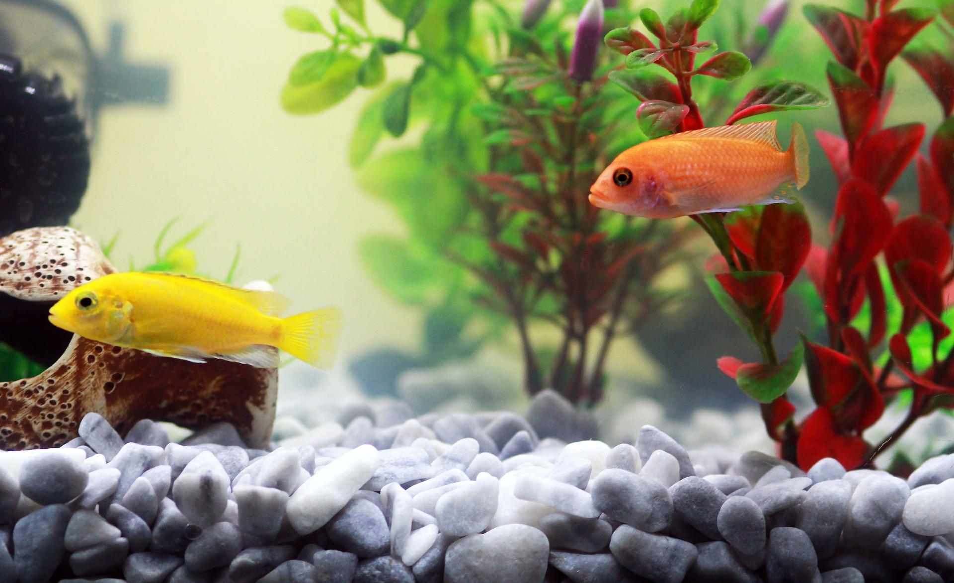 Imagem de dois peixes pequenos em aquário.