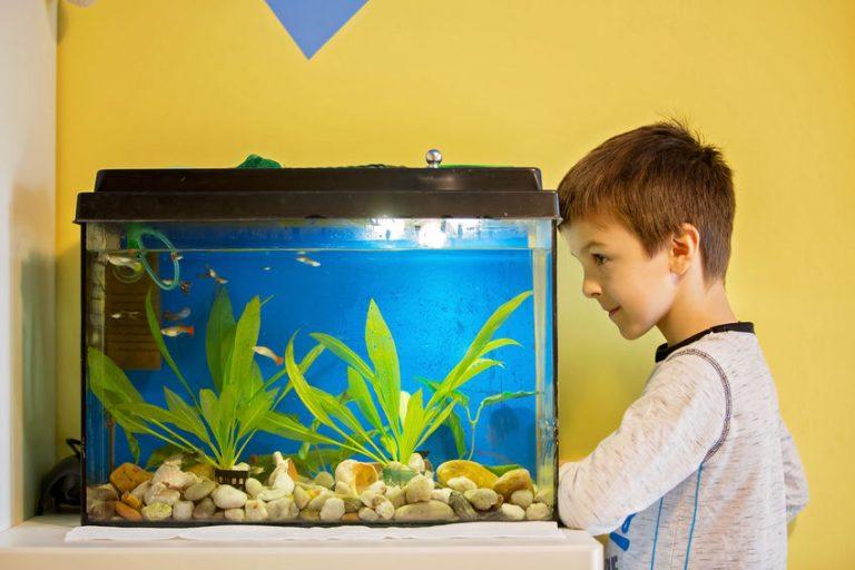Menino observando peixes em um pequeno aquário.