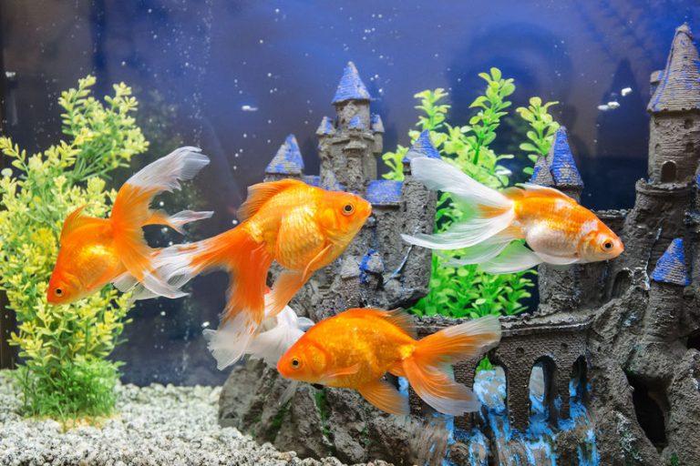 Peixes alaranjados nadando em um aquário.
