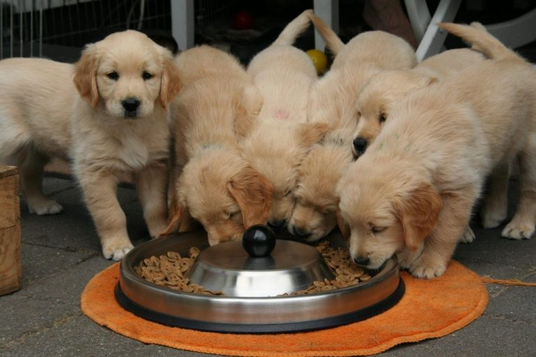 Six puppies eating feed in a feeder.