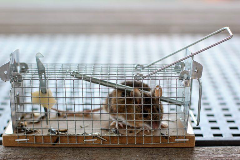 Imagem de rato preso em ratoeira equipada com gaiola