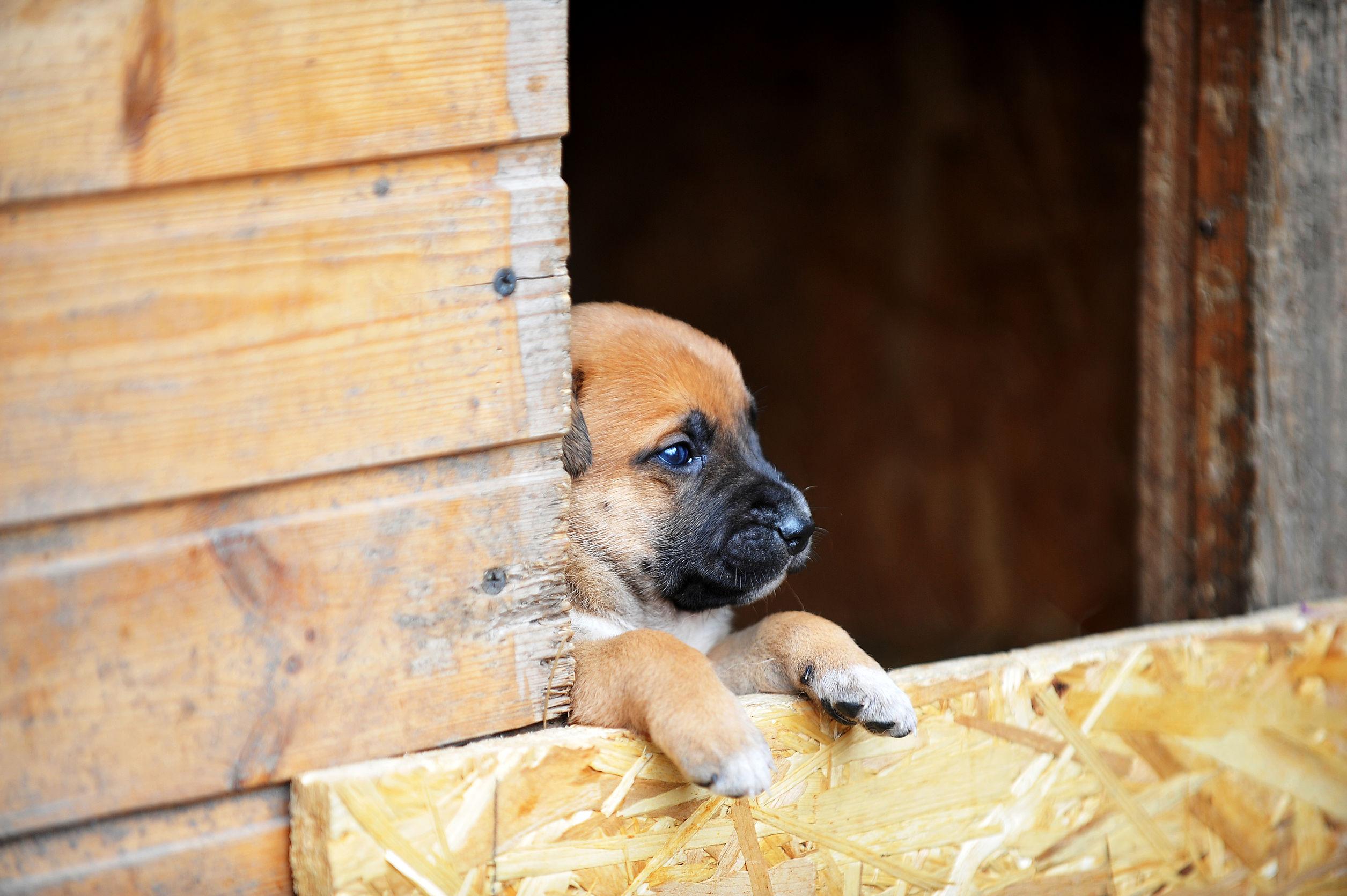 cão na porta da casinha de cachorro