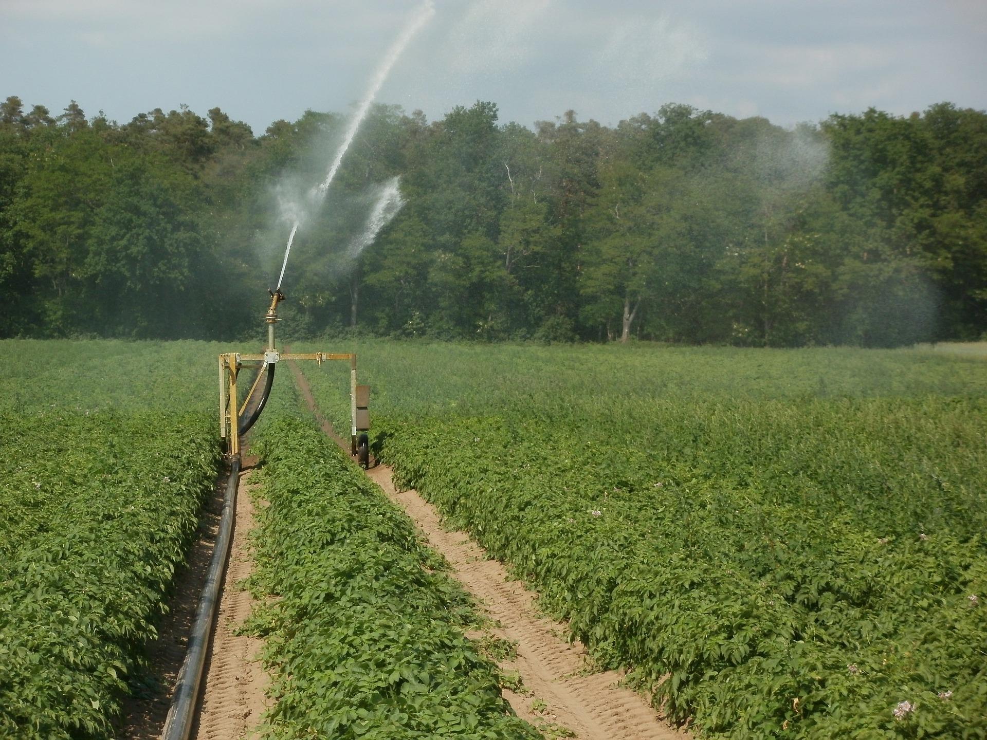 A imagem é um campo de plantação. As folhas estão sendo molhadas por um irrigador que está ligado e joga um jato muito forte de água para cima.