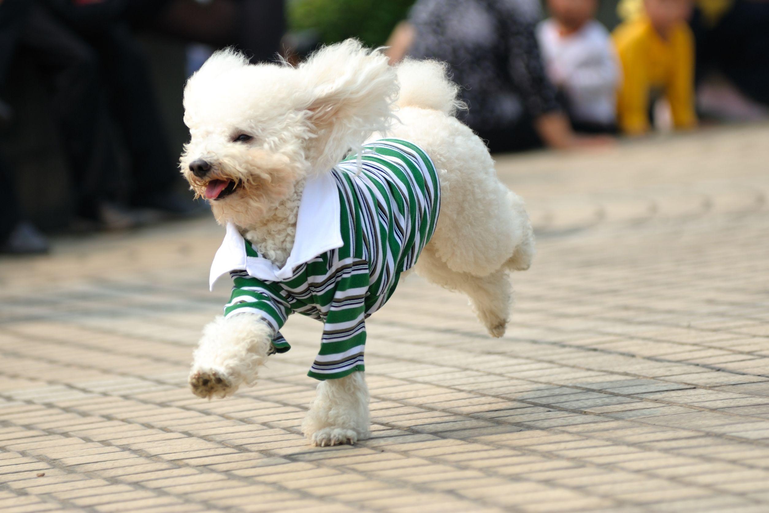 poodle com roupa para cachorro