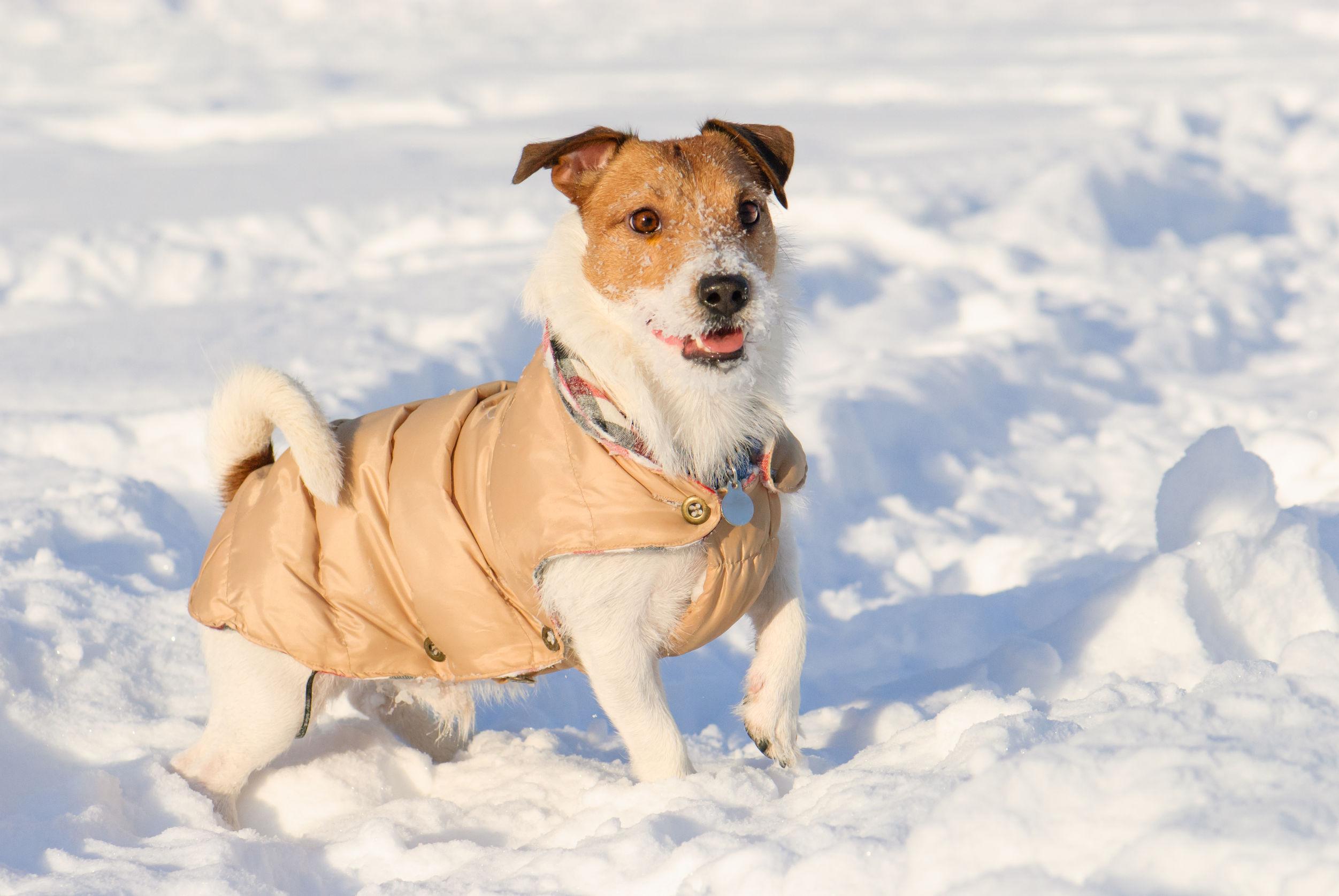 cãozinho usando roupa para cachorro