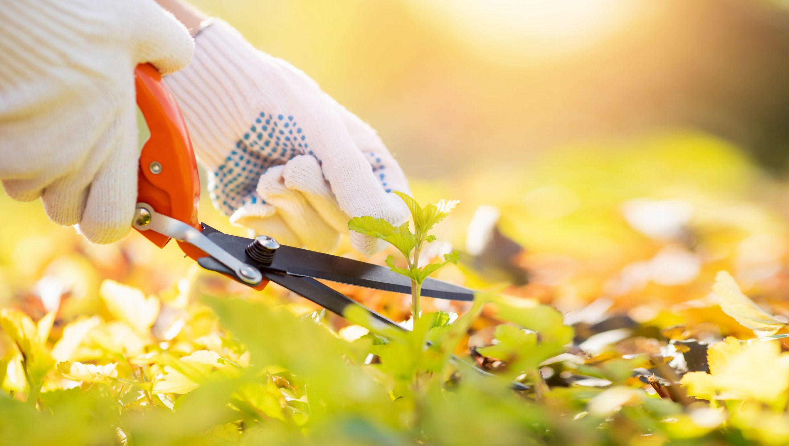 Homem com tesoura de jardinagem cortando um arbusto verde