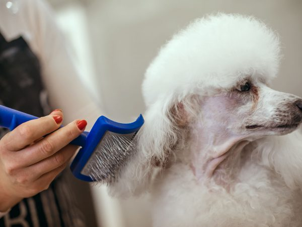 Grooming a little dog in a hair salon for dogs. Beautiful white poodle