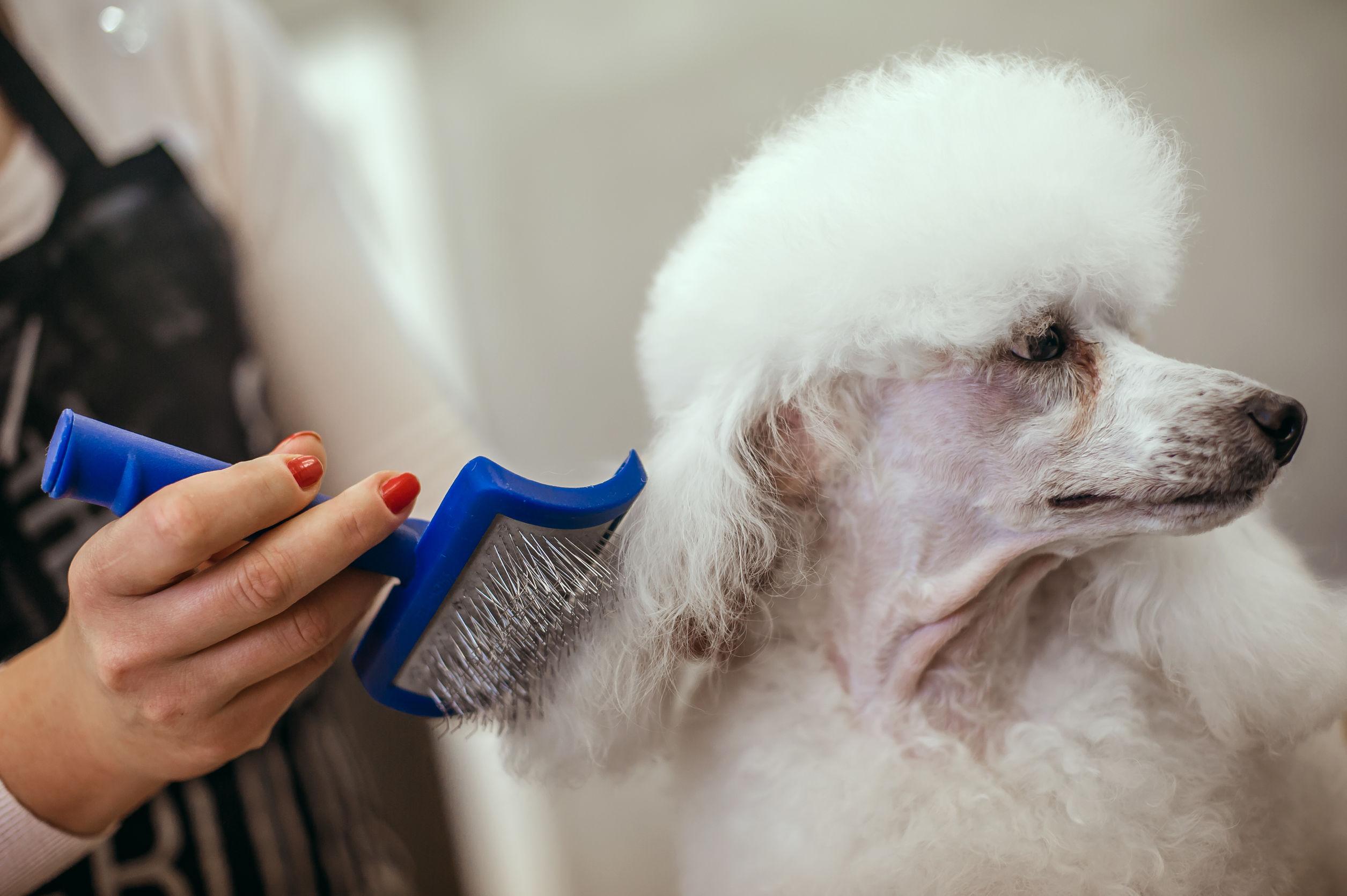 Mulher penteando um cachorro branco com escova