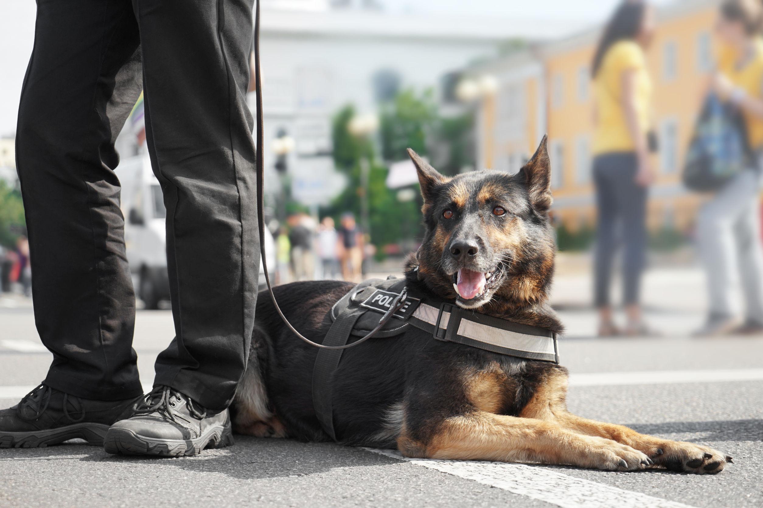 Cão com coleira peitoral guiado por uma pessoa que não aparece na imagem.